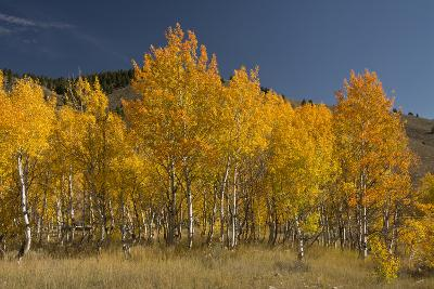 Autumn Colors, Boulder Mountains, Sawtooth National Forest, Idaho, USA-Michel Hersen-Photographic Print