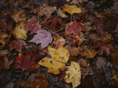 Autumn Colors Overlap in a Pile of Fallen Leaves-Sam Kittner-Photographic Print