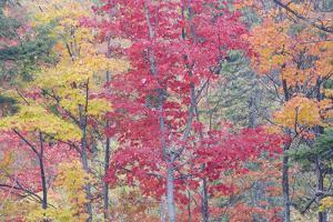Autumn Colour Maple Woodlands