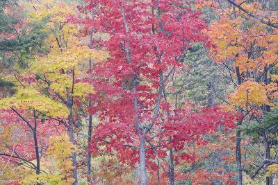 Autumn Colour Maple Woodlands--Photographic Print