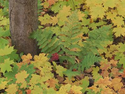Autumn Colour. Variety of Maples (Acer Sp.), Michigan Upper Peninsula, USA-Mark Hamblin-Photographic Print