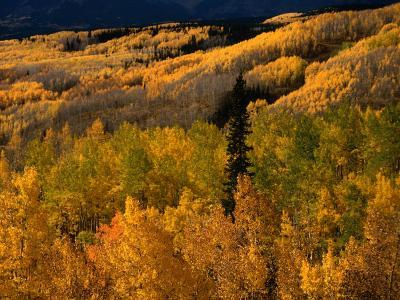 Autumn Colours of the Elk Mountains in Colorado, USA-Mark Newman-Photographic Print