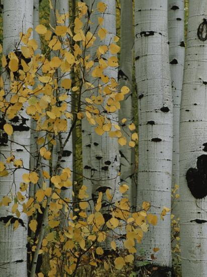 Autumn Foliage and Tree Trunks of Quaking Aspen Trees in the Crested Butte Area of Colorado-Marc Moritsch-Photographic Print
