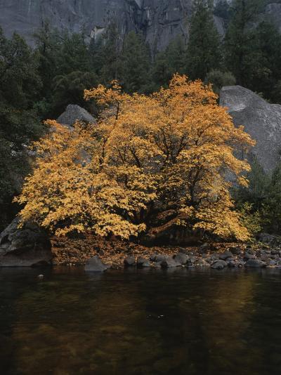 Autumn Foliage Decorates a Tree in Yosemite-Marc Moritsch-Photographic Print