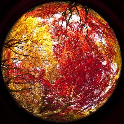 Autumn Foliage of Japanese Maple (Acer) Tree, England, Uk-Jon Arnold-Photographic Print