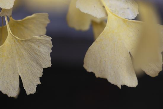 Autumn Gingko IV-Rita Crane-Photographic Print