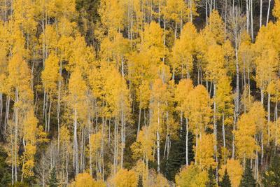 https://imgc.artprintimages.com/img/print/autumn-gold-aspen-tree-pattern-on-mountain-slope-san-juan-mountains-colorado_u-l-q1d11qb0.jpg?p=0