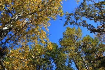 Autumn. Gold Birch and Larch Tops against Blue Sky-???????? ??????-Photographic Print