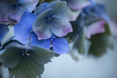 Autumn Hydrangea I-Rita Crane-Photographic Print