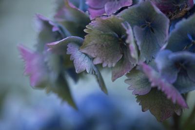 Autumn Hydrangea II-Rita Crane-Photographic Print