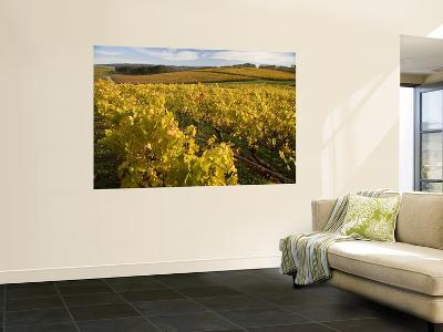 Autumn in the Tamar Valley Vineyards-Andrew Bain-Wall Mural