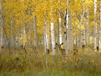 https://imgc.artprintimages.com/img/print/autumn-in-uinta-national-forest-a-deer-in-the-aspen-trees_u-l-q10c9k70.jpg?p=0