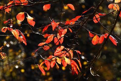 Autumn Leaves 6-Alan Hausenflock-Photographic Print
