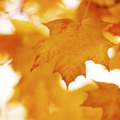 Autumn Leaves in Soft Sunshine II--Photo
