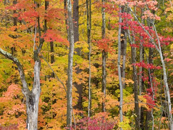 Autumn Leaves, White Mountains-Gareth McCormack-Photographic Print