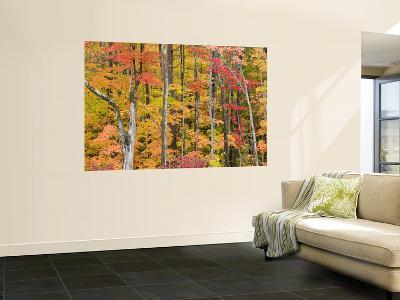 Autumn Leaves, White Mountains-Gareth McCormack-Wall Mural