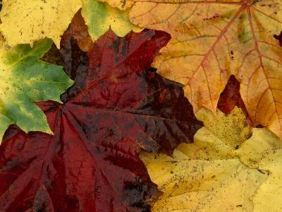 Autumn Leaves--Photographic Print