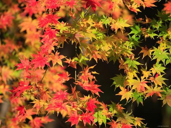 Autumn Leaves--Photographic Print