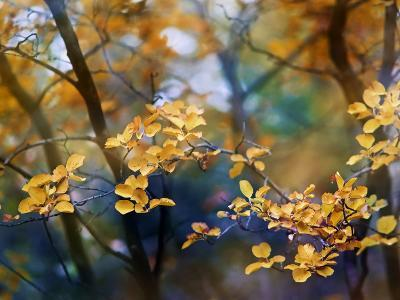 Autumn Leaves-Ursula Abresch-Photographic Print
