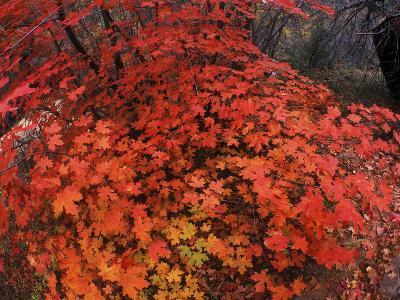 Autumn Maple Leaves in Zion National Park, Utah-Keith Ladzinski-Photographic Print
