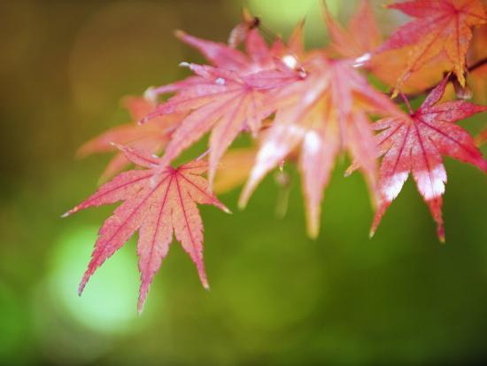 Autumn Maple Leaves, Sagano Area, Kyoto, Japan, Asia-Christian Kober-Photographic Print