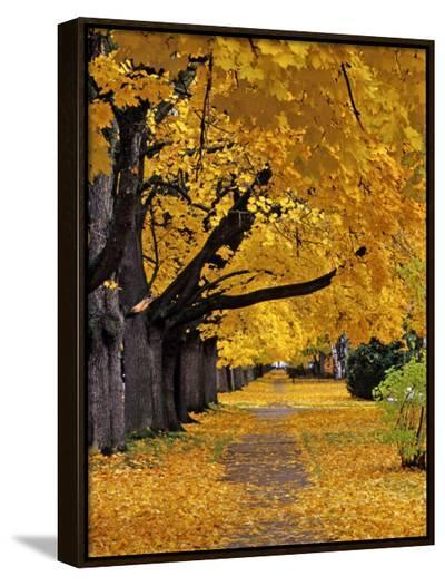 Autumn Maple Trees, Missoula, Montana, USA-Chuck Haney-Framed Canvas Print