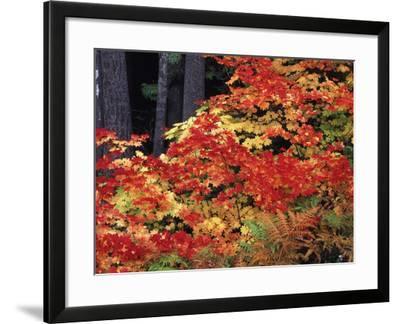 Autumn, Mt Baker Snoqualmie National Forest, Snoqualmie Pass, Washington, USA-Stuart Westmorland-Framed Photographic Print