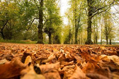 Autumn on Lime Tree Avenue, Clumber Nottinghamshire England Uk-Tracey Whitefoot-Photographic Print