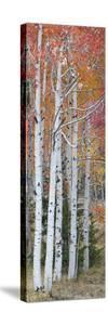 Autumn Quaking Aspen Trees, Boulder Mountain, Utah, Usa