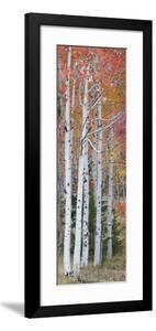 Autumn Quaking Aspen Trees, Boulder Mountain, Utah, Usa