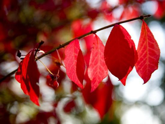 Autumn Red Leaves and Berries on a Burning Bush, Silver Spring, Maryland-Stephen St^ John-Photographic Print