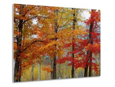 Autumn Sugar Maples, New Hampshire New England-Vincent James-Metal Print