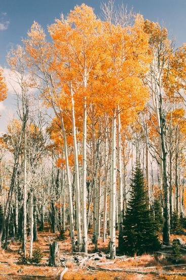 Autumn Sun Trees at Dixie National Forest, Southern Utah, Southwest-Vincent James-Photographic Print