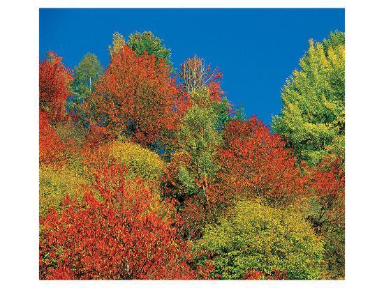Autumn Tops--Art Print