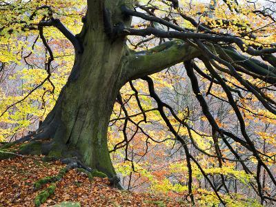 Autumn Tree, Bolton Abbey, Yorkshire, England, United Kingdom, Europe-Mark Sunderland-Photographic Print