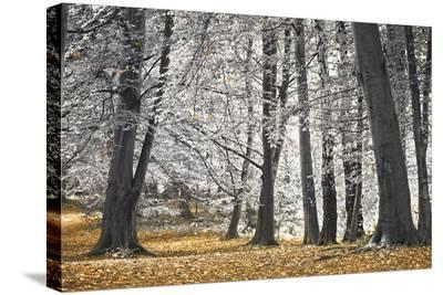 Autumn Tress and Leaves-Assaf Frank-Stretched Canvas Print