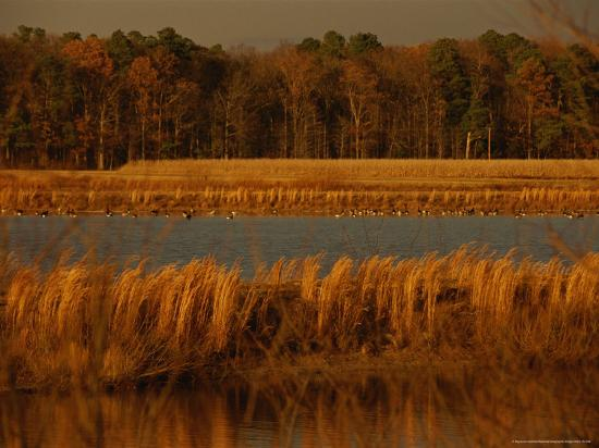 Autumn View of Canada Geese on a Freshwater Marsh at Twilight-Raymond Gehman-Photographic Print