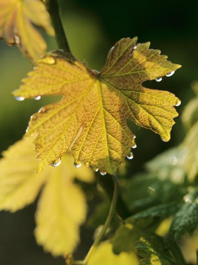 Autumn Vine Leaves in Corbieres, South of France-Joerg Lehmann-Photographic Print