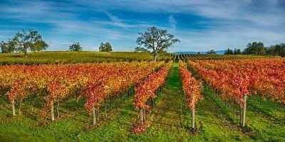 Autumn Vineyard at Napa Valley, California, USA--Photographic Print