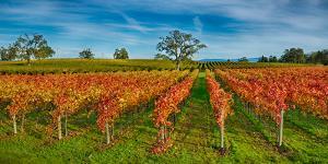 Autumn Vineyard at Napa Valley, California, USA