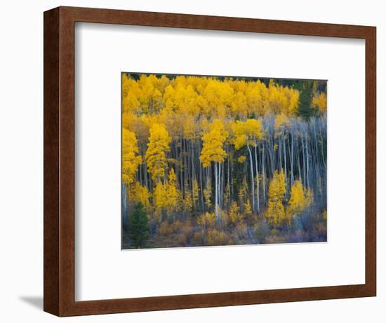 Autumn Vista with Yellow Aspens Along Cottonwood Pass, Rocky Mountains, Colorado,USA-Anna Miller-Framed Photographic Print