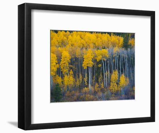 Autumn Vista with Yellow Aspens Along Cottonwood Pass, Rocky Mountains, Colorado,USA-Anna Miller-Framed Photographic Print