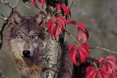 Autumn Wolf-Gordon Semmens-Photographic Print