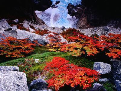 Autumnal Foliage Beneath the Glacier Piedras Blancas-Gareth McCormack-Photographic Print