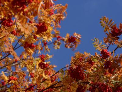 Autumnal Foliage of a Rowan Tree Against a Blue Sky