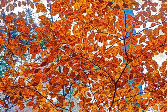 Autumnal forest, Kastel-Staadt, Rhineland-Palatinate (Rheinland-Pfalz), Germany, Europe-Hans-Peter Merten-Photographic Print