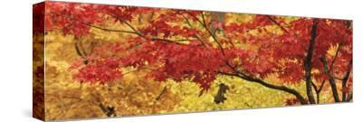 Autumnal Leaves on Maple Trees in a Forest--Stretched Canvas Print