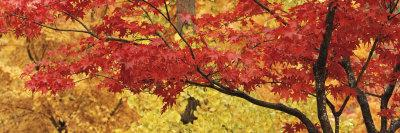 Autumnal Leaves on Maple Trees in a Forest--Photographic Print