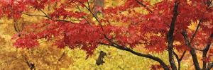 Autumnal Leaves on Maple Trees in a Forest