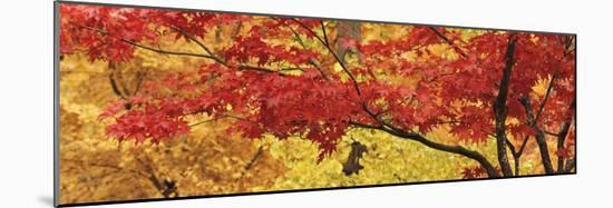 Autumnal Leaves on Maple Trees in a Forest--Mounted Photographic Print